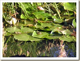 Les grenouilles sur leur nénuphar